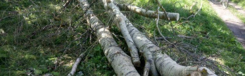 В Юже проводится доследственная проверка по факту получения ребенком травм в результате падения дерева
